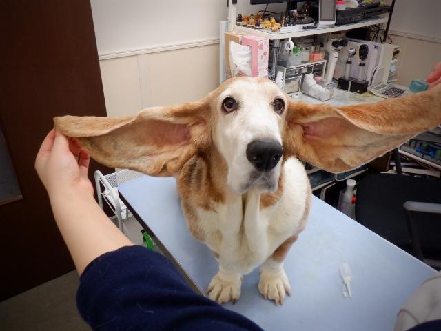 お耳がなが~い